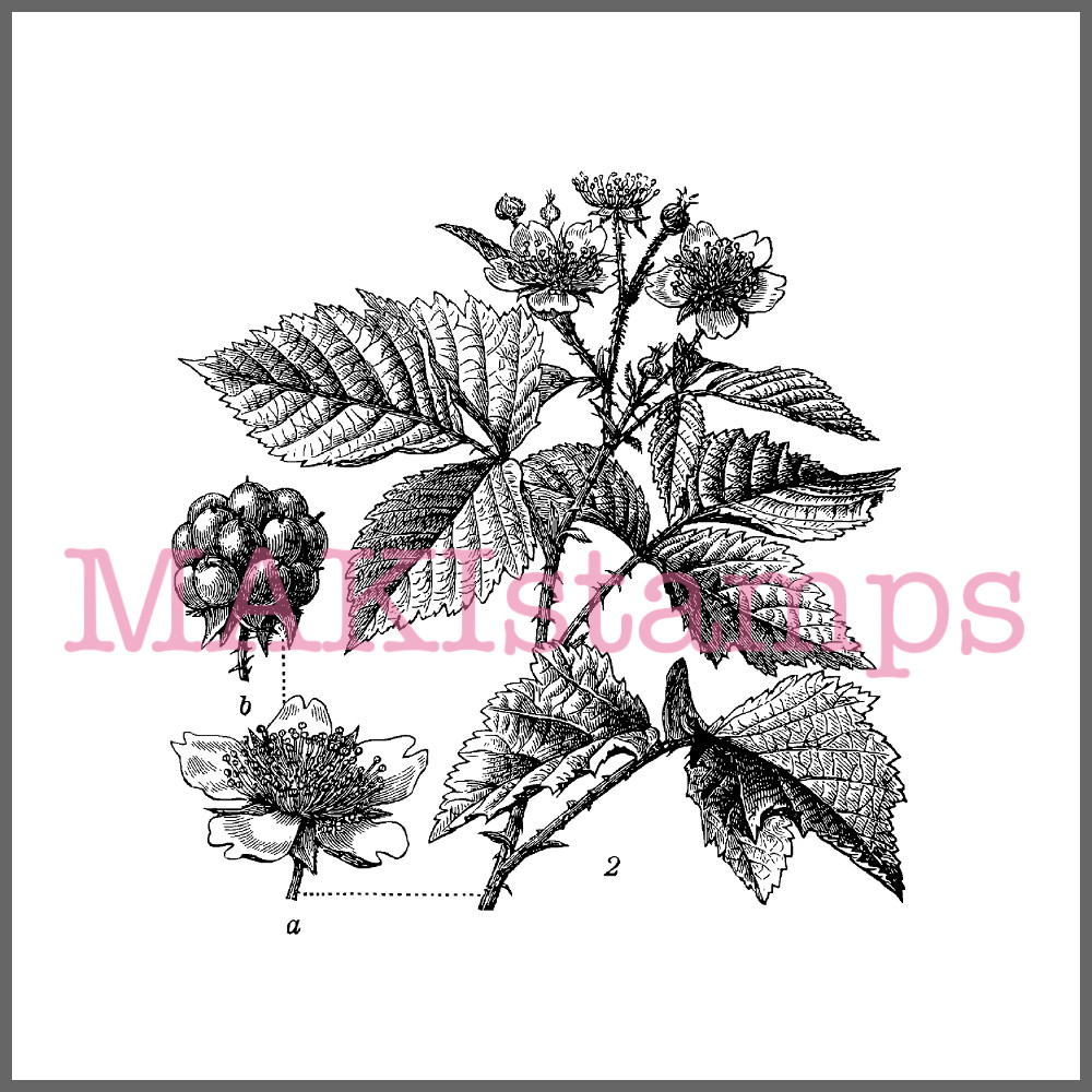 fruit rubber stamp blackberry