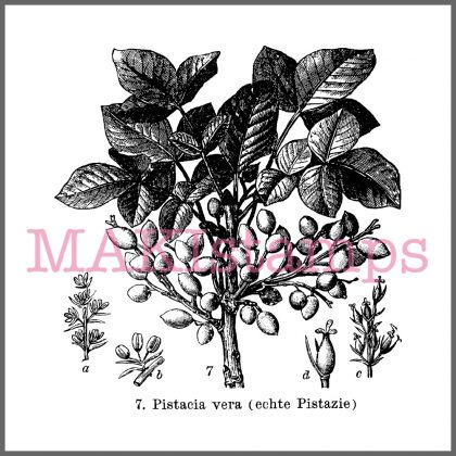 Stempel Pflanze