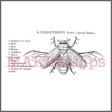 coleopterous rubber stamp